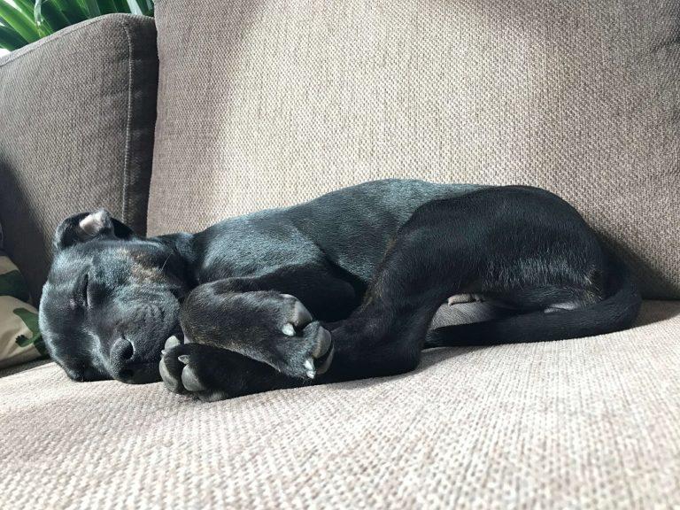 Svart valp i grå soffa